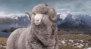 icebreaker-merino-sheep
