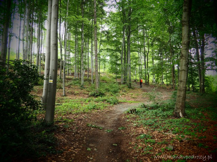 Szlak w lesie, wysokie drzewa, turysta w oddali.